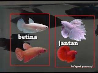 Budidaya Ikan Hias (Ikan Cupang)